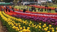 India Online Tours offers you the Special Tour packages like Tulip 2015 Tour , keeping an eye on the most colorful and celebrated festivals in India