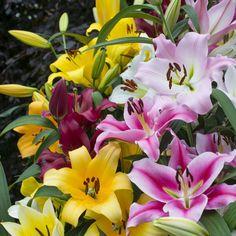 """""""Für diese Mischung verwenden wir ausschließlich die neue Generation der O.T. Lilien, die in den letzten Jahren entwickelt wurde. Wenn Sie 5 Zwiebeln bestellen, bekommen Sie 5 verschiedene Sorten."""" - Carlos van der Veek, Gründer des Onlineshops für Blumenzwiebeln www.fluwel.de. Pflanzzeit für Lilienzwiebeln ist im Winter."""