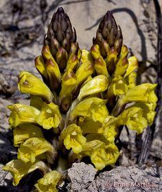 Flores Silvestres del Mediterráneo: Orobanchaceae: Cistanche phelypaea
