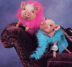 cutest pigs with dresses | All Dressed Up Pigs
