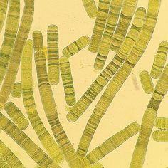 Oscillatoria sp. #cyanobacteria #microscopy #microbiology by cyanonsense
