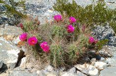 Echinocereus stramineus, Mexico, Coahuila, Hipolito  More Pictures at: http://www.echinocereus.de