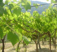 Grapevines Castleforte, Italy