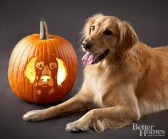 Golden Retriever Pumpkin:        Lucy Buttercup is a friendly dog who loves to snuggle on the couch with my husband and me -- and steal food from the counter when we're not looking. She once ate an entire peach pie! When we adopted another dog, Rocco (a dark Golden retriever), Lucy was shy at first, but now she plays, wrestles, and cuddles nonstop with him.        -- Diane Starkey, Lucy's owner