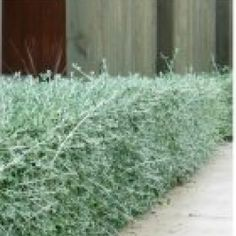 Teucrium fruticans Silver Germander  Height 1-2m Width 1-2m Evergreen Full Sun Hardy Coastal Tolerance: Suitable