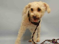 SAFE -07/20/15 - TO BE DESTROYED - 07/19/15 - NENA - #A1042383 - Urgent Manhattan - FEMALE WHITE POODLE MIN MIX, 5 Yrs - STRAY NO HOLD INJ MINOR Intake Date 07/01/15