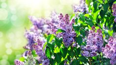 3 tips for growing lilac bushes Heres how to keep these fragrant beauties healthy and happy. By Networx.com Thu, Apr 25 2013 at 11:39 AM
