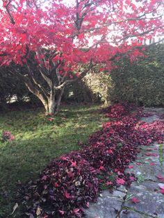 Laub rechen beim Ahorn. #gartenblog #laub #herbst Meditation, Plants, Red, Scenery, Fall, Planters, Plant, Planting, Christian Meditation