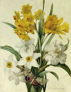 Pierre-Joseph Redouté, Daffodils and Narcissi with a Red Underwing Moth, 1826. Old botanical illustration.