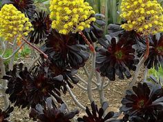Aeonium arboreum 'Zwartkopf' - Black Rose, Black Beauty, Black Tree Aeonium