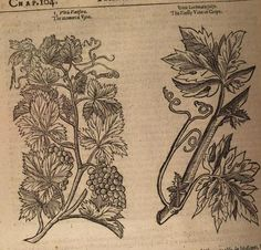 John Parkinson (1567-1650) was an English herbalist and botanist. He was apothecary and Royal Botanist to Charles I. He published two books Paradisi in Sole Paradisus Terrestris first edition in ...