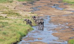 Elephants seen crossing a small stream near Oliver's Camp in the Tarangire National Park. Photo credit: Lauren Pond Sanders