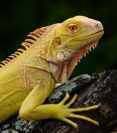 Iguana iguana, albino by Michael Kern, via 500px