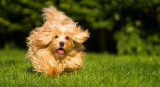 all dog facts research findings and behaviors of all breeds: HAVANESE DOG