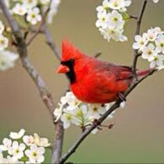 Song birds, Cardinal. Tips for attracting songbirds. 1)Hang feeders near or under shrubs 2)Clean tube feeders 3)provide water source Your ready