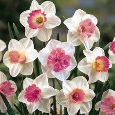 The time plant spring bulbs is fall! If the yellow of typical daffodils isn't your thing, why not try these lovely pink ones? via American Meadows