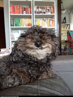 Mini Poodle Murray woke up with the bestest doggie face ever! How cute is Murray?