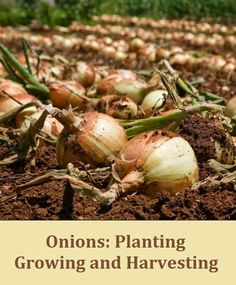 Alternative Gardning: Onions Planting, Growing and Harvesting