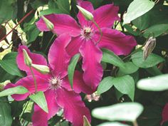 CLEMATIS Huvi Clematis kivihu 'Huvi' Height:	6-8' Flowers:	Deep carmine red with reddish mauve stripe Blooms:	6-8 weeks, starting late June Zone:	3-9 Soil:	Does well in most conditions Hardiness:	Perennial Additional Information: Excellent for trellis, posts, fences. Blooms on OLD growth, prune as needed shortly after blooming. *SHADE ROOTS*