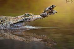 Safety Zone by shikhei goh on 500px.  An amphibian takes a dangerous ride.