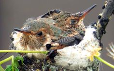 Aren't these baby hummingbirds precious?