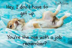 chihuahua lazy bu #chihuahua lazy bum