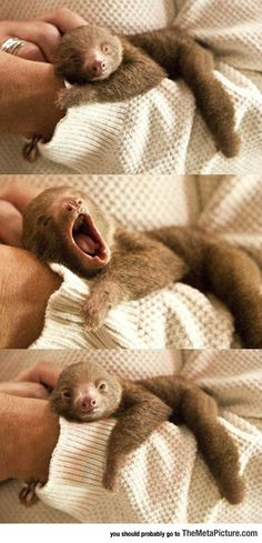 Tiny Baby Sloth Yawning