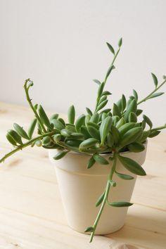 茎が伸び見た目が悪くなったアーモンドネックレスの調節 | ウチデグリーン | UCHI de GREEN Planter Pots, Succulents, Green, Succulent Plants, Plant Pots