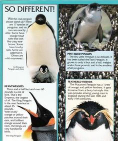 Penguin Facts | Penguin Place Penguin Facts, All About Penguins, Penguin Species, Poetry Inspiration, Crazy Eyes, Jungles, Like Crazy, Predator, Remote
