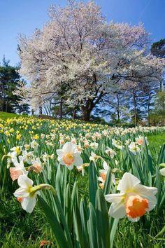 New York Botanical Gardens I love daffodils! Their so cheery! Botanical Garden New York, Botanical Gardens, Exotic Flowers, Beautiful Flowers, Floral Flowers, Beautiful Landscapes, Beautiful Gardens, Spring Flowers, Wild Flowers