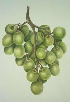 Green Grapes Polychromos Colored Pencils by Rebecca Chamberlain Colored Pencil Artwork, Coloured Pencils, Color Pencil Art, Pencil Art Drawings, Art Drawings Sketches, Fruit Painting, Pencil Painting, Grape Drawing, Fruits Drawing