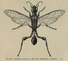 nemfrog:  Fig 37. One of the solitary wasps. The Cambridge natural history, insects. 1899.