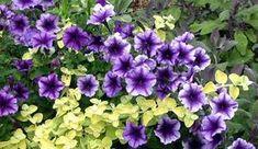 A primavera il dilemma è sempre quello. Quali piante mettere per rendere bello e colmo di fiori il nostro balcone? In effetti le possibilità sono moltissime ma spesso si ricade sempre nelle stesse. Fiori&Foglie ha pensato diampliare le possibilità discelta con un elenco di piante (anche da abbinare) di dimensioni adatte ad essere cresciute in vaso, sia per un balcone assolato, che per uno meno esposto, che gode di una mezza giornata d'ombra. Potrete scegliere le vostre candidate a s...
