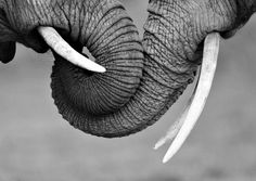 elephant trunks - trunks, black and white, elephant, photo, animals