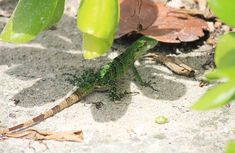 TRAVEL | Wildlife Spotted at The TRS Yucatan, Maya Riviera, Mexico  #lizard #mexico #wildlife #animals #nature