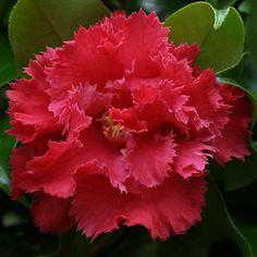 Buy Camellia 'Fred Sander' (japonica) online. - Duchy Nursery