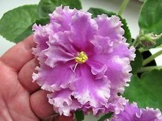 African Violet Leaves | African-violet-Saintpaulia-Bold-Party-Girl-pair-of-leaves