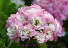 Pelargonie - Pelargonium - Pelargoner April Snow
