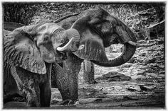 Elephants - How's the water by Tony Sparkes on Kruger National Park, National Parks, Elephants, South Africa, Wildlife, Water, Animals, Gripe Water, Animales