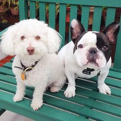 Poodle and French Bulldog 'Besties'.