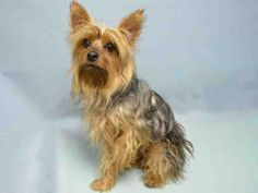 SAFE - 12/22/15 - TO BE DESTROYED - 12/20/15 - BENNY - #A1060676 - Super Urgent Brooklyn - MALE BROWN & GRAY SILKY TERRIER, 2 Yrs - STRAY - NO HOLD Intake 12/16/15 Due Out 12/19/15
