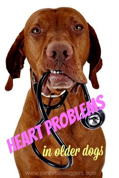 Heart problems in older dogs can often be treated or managed if they're diagnosed early.  Find out about heart disease in senior dogs here.