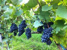 Sogga Pinot noir
