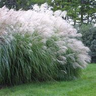 Decorative Grass Calgary Ornamental Grasses For Sale Alberta