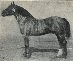 Brindle Noriker Horse (The Pinzgau Horse) born 1901, old type,  breeding stallion in Silesia 1923.