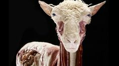 Animals Inside Out exhibit by the creators of Body Worlds.