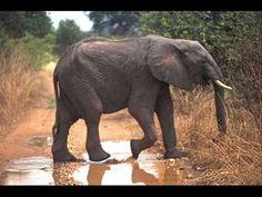 Liedjes olifanten voor op het digibord - Digibord Onderbouw