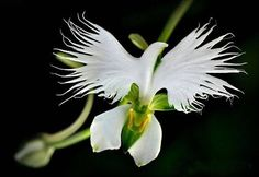Dove Orchid. From Facebook. 9-30-14