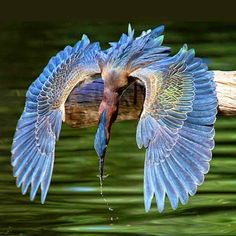 Green heron flying low over the water. The Green Heron (Butorides virescens) is a small heron of North and Central I America. Pretty Birds, Beautiful Birds, Animals Beautiful, Gorgeous Gorgeous, Majestic Animals, Exotic Birds, Colorful Birds, All Birds, Love Birds