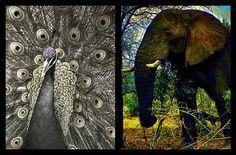 Elephant & Peacock
